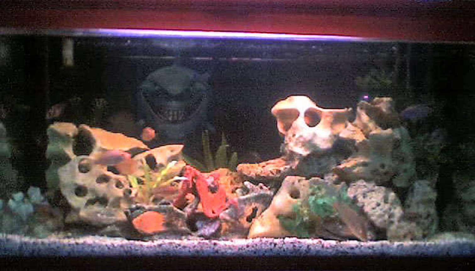 50 gallons freshwater fish tank (mostly fish and non-living decorations) - pix #2 50 gal. overhead filter, air bubbles, fake plants, skull stones, garden rocks, 5 colors sand. Fishes are escondido, 1 white cichlid, blue jewel, 5 colors peacock, surinamensis, tangerine, yellow prince, malari, green ceverum, 3 parrots, jacob, red peacock, blue dolphin, venustus, lanisticola and a pleco.