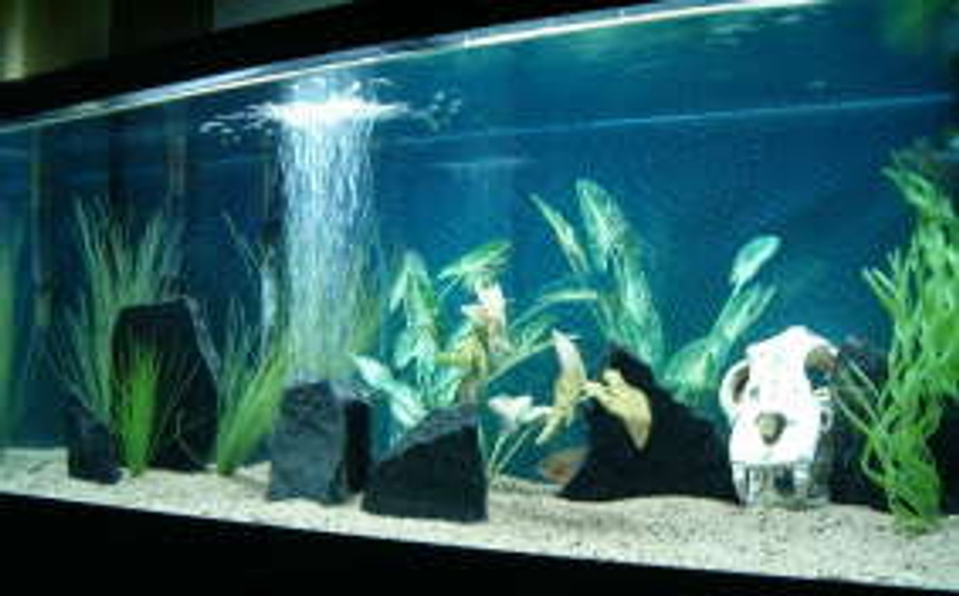75 gallons freshwater fish tank (mostly fish and non-living decorations) - 75g. w/ juvi. black piranha