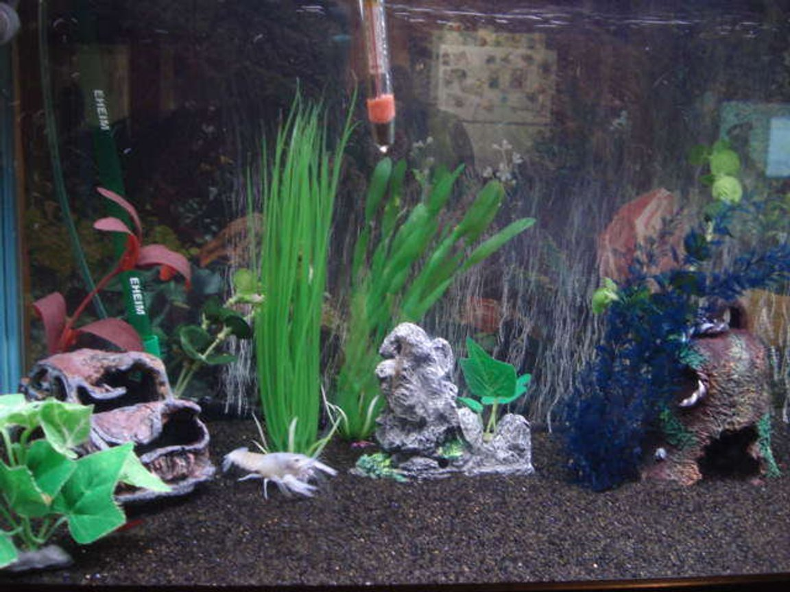 29 gallons freshwater fish tank (mostly fish and non-living decorations) - Freshwater community aquarium, blue cobalt lobster wondering in the bottom.