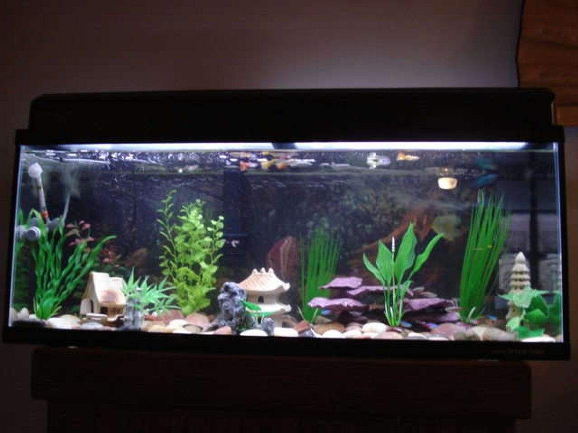 29 gallons freshwater fish tank (mostly fish and non-living decorations) - Freshwater community tank with Japan underwater theme