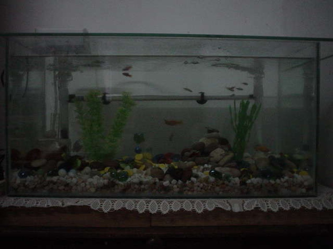 16 gallons freshwater fish tank (mostly fish and non-living decorations) - New tank with New inhabitants 2 Sailfin Mollies 2 Bala Shark 8 Neon Tetra 4 Plattys 2 Blue Dwarf Gourami 2 Zebra Danios Update @ 10/12/2006 1 Zebra Danios 1 Sailfin Moly 2 Plattys 2 Bala Sharks 5 Neon Tetra. 1 Blue Dwarf Gourami. Death Toll: 1 Blue Dwarf Gourami (Female) 1 Sailfin Moly 1 Platy 1 Neon Tetra Missing Tolls: 2 Neon Tetra 1 Platty 1 Zebras Danios Anyone can help why these fish have disappeared.. Very strange... I'm thinking maybe the sharks ate them, what do you think?