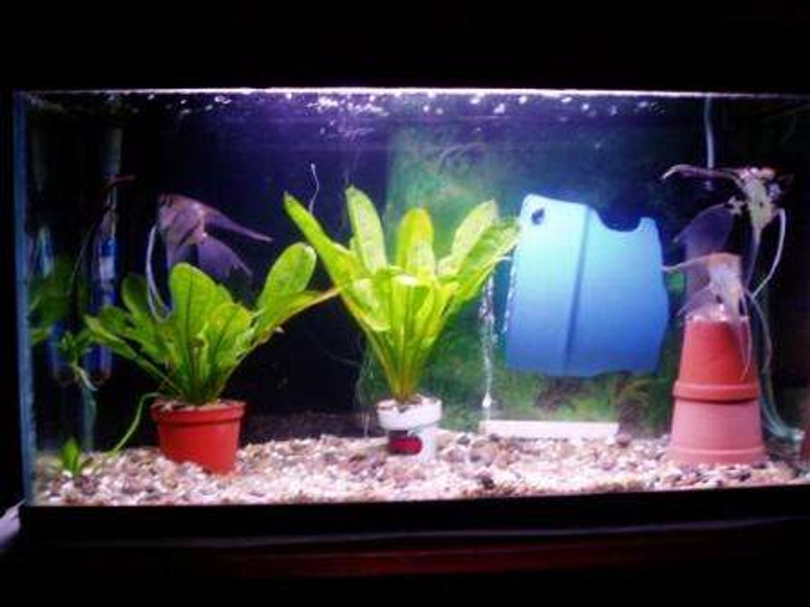 70 gallons freshwater fish tank (mostly fish and non-living decorations) - scalaire couple 2