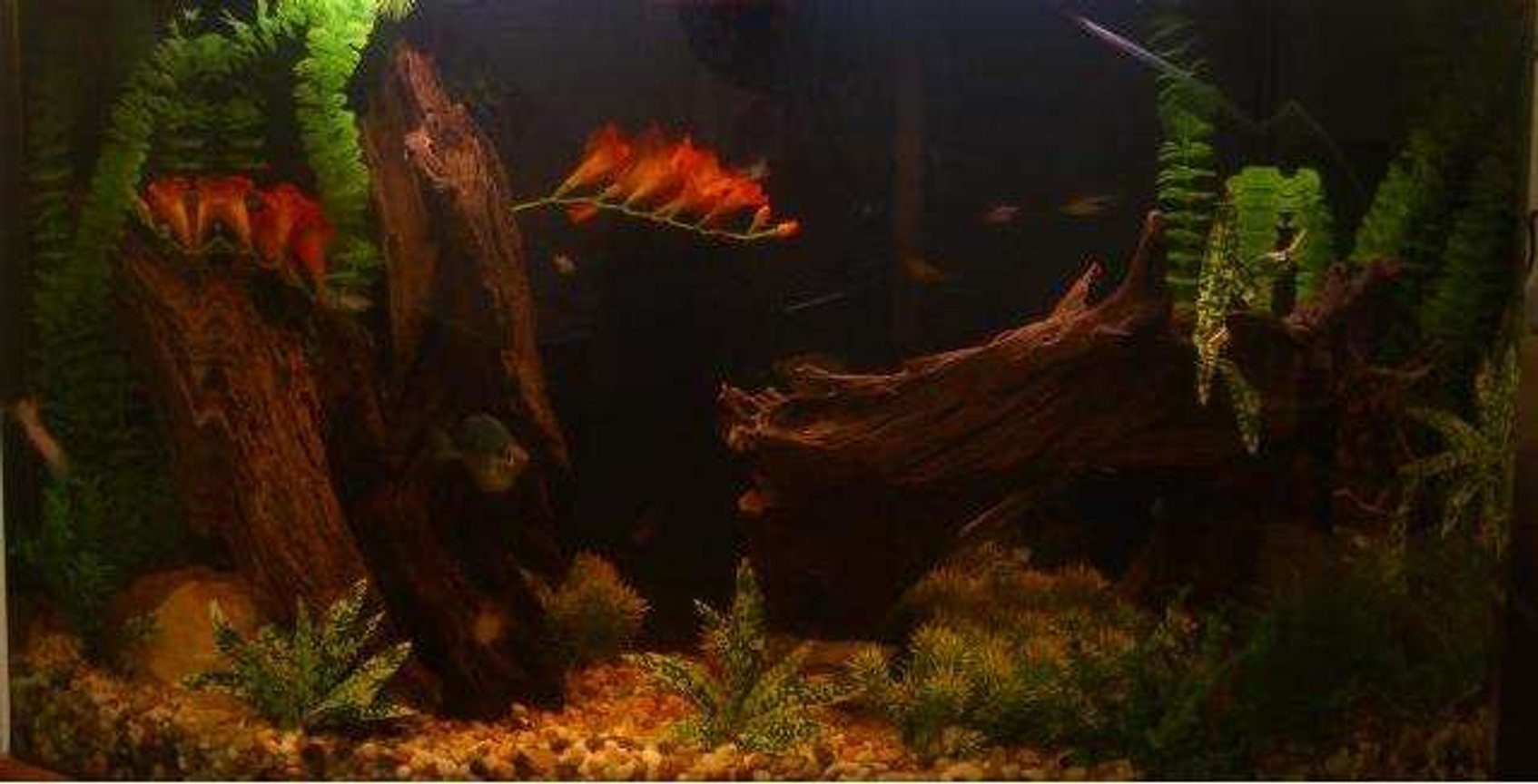 45 gallons freshwater fish tank (mostly fish and non-living decorations) - I finally got driftwood :) My fishies in their new wooded home- with a little dark water effect- Even with H2O changes every other day, the water remains a tea-color.