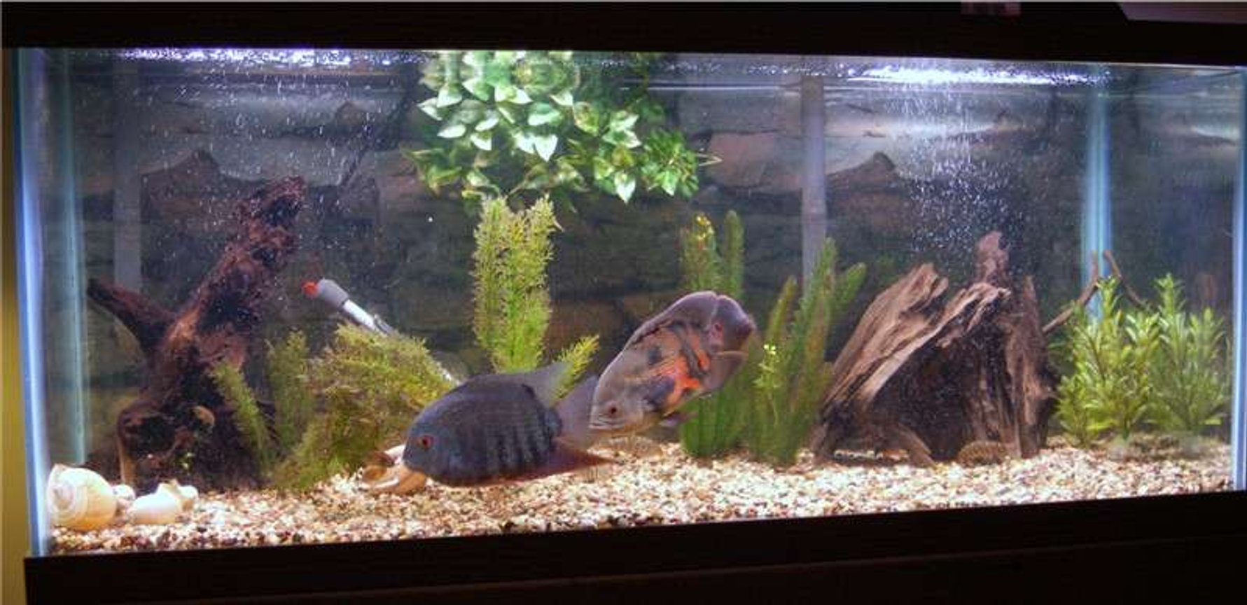 freshwater fish tank (mostly fish and non-living decorations) - 75g; gravel substrate; driftwood; artificial plants; oscar; severum; sailfin plec; loaches
