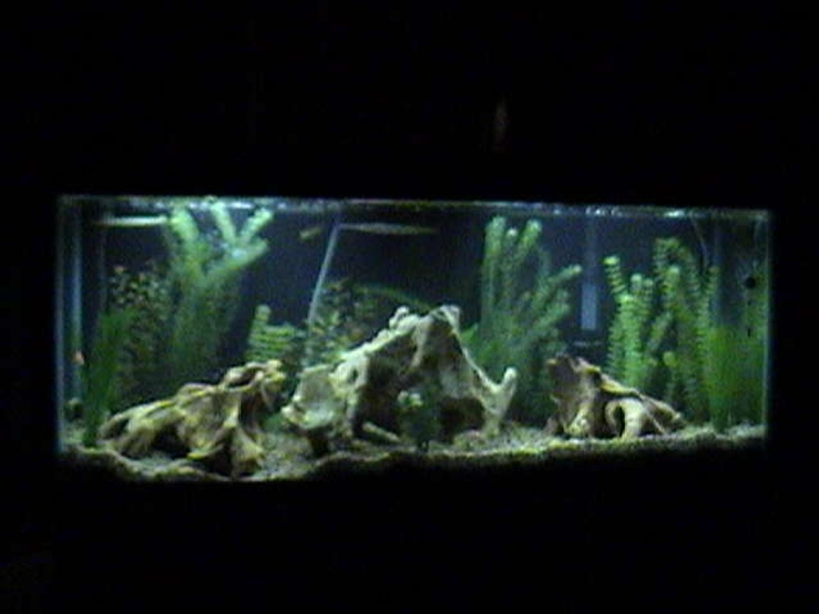 55 gallons freshwater fish tank (mostly fish and non-living decorations) - Is the 55 gallon tank above that has needle nose fish, dragon fish, mollies, etc.