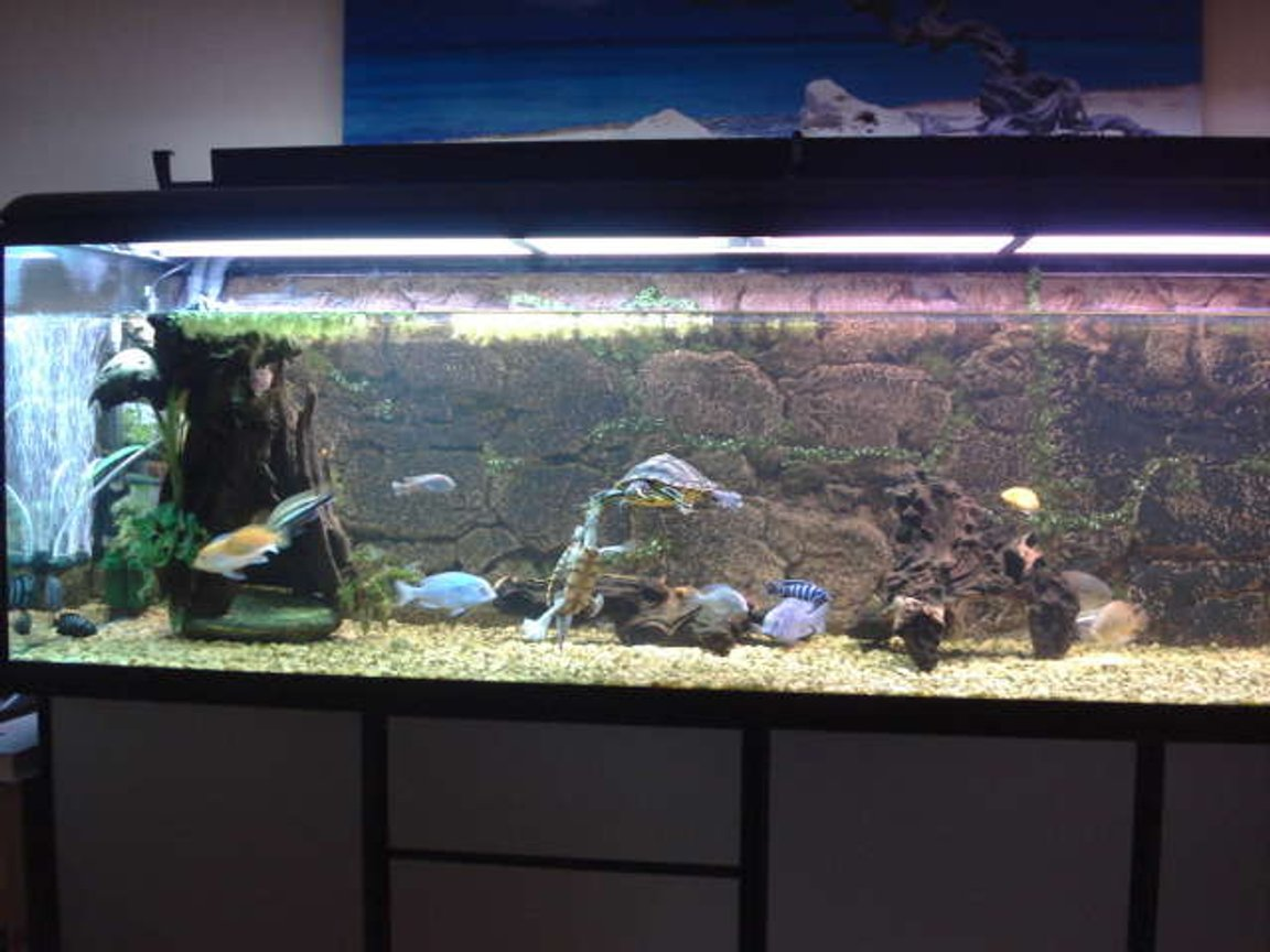 190 gallons freshwater fish tank (mostly fish and non-living decorations) - turtles and cichlids