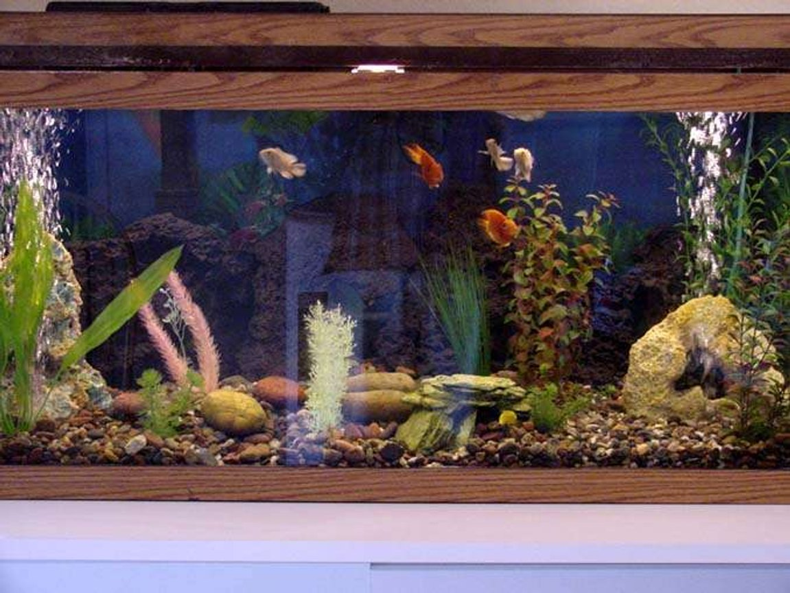 75 gallons freshwater fish tank (mostly fish and non-living decorations) - Alot of the fish are hiding right now. However, when they are all out, there can't be any more colors in a fresh water tank!
