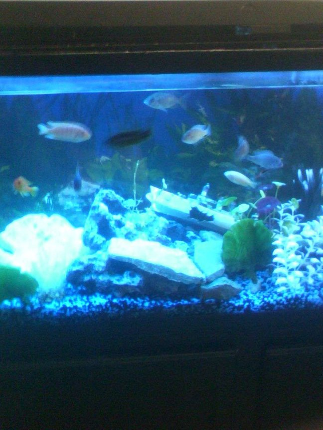 55 gallons freshwater fish tank (mostly fish and non-living decorations) - my assorted cichlid tank