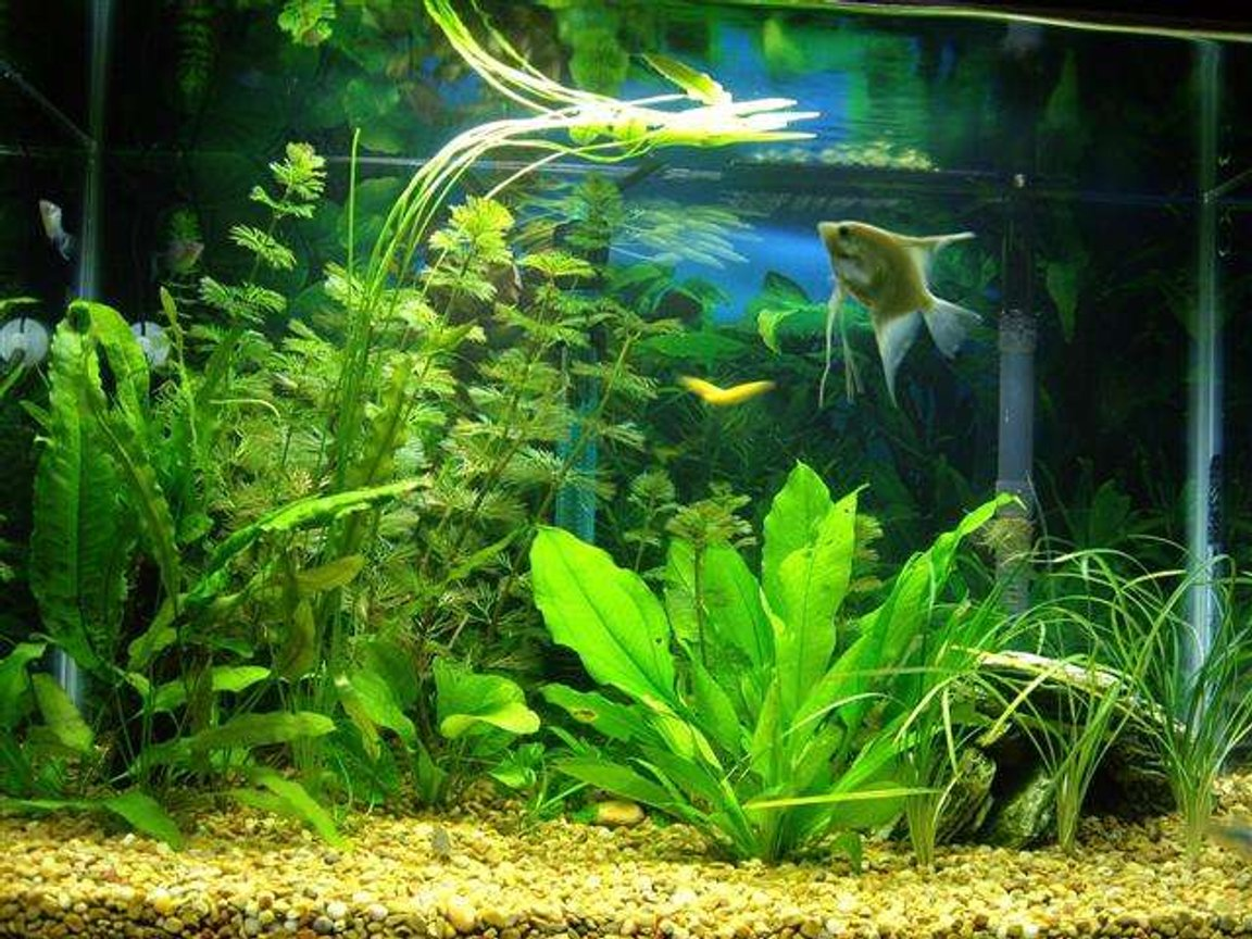 20 gallons freshwater fish tank (mostly fish and non-living decorations) - 20 Gal Aquarium whit power filter Tetra Whisper 30, no undergrabel filter nor air bubles. Amminia 0, Nitrite 0. 100 W heater, water 78 F.
