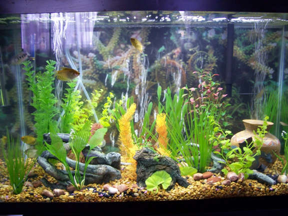29 gallons freshwater fish tank (mostly fish and non-living decorations) - This is my 29 gallon tank. All plants are plastic. You can see 3 gold gourami and a pearl gourami hiding in the plants.