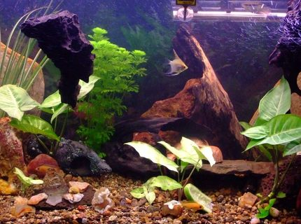 90 gallons freshwater fish tank (mostly fish and non-living decorations) - recently rearranged and a few more plants, with a variety of cichlids including 2 rainbow chichlid's, 4 bristle nose pleco's, 1 pictus catfish, 3 khuli loaches, 1 convict, 1 firemouth, 1 flameback, 3 bolivian butterfly's, 2 red forest jewel's, 1 electric yellow, 