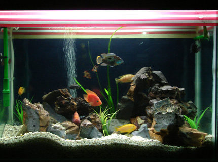 67 gallons freshwater fish tank (mostly fish and non-living decorations) - malawi cichlid tank