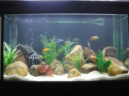 45 gallons freshwater fish tank (mostly fish and non-living decorations) - African Cichlid Tank.