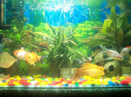 12 gallons freshwater fish tank (mostly fish and non-living decorations) - My Favourite Hobby