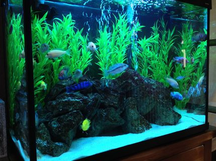 44 gallons freshwater fish tank (mostly fish and non-living decorations) - Tank Update