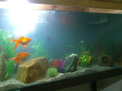 50 gallons freshwater fish tank (mostly fish and non-living decorations) - Vastu tank