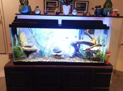 50 gallons freshwater fish tank (mostly fish and non-living decorations) - 50 gallon fresh water tank with natural look