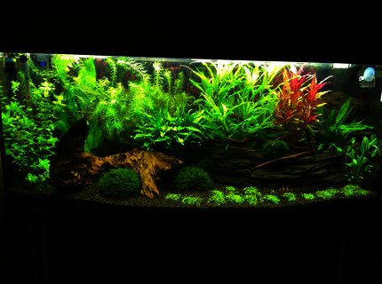 Rated #8: 240 Gallons Freshwater Fish Tank - My 240l bow front tank 