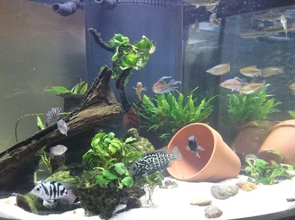 54 gallons freshwater fish tank (mostly fish and non-living decorations) - 54 gallon West African biotope/themed with fair share of non-African residents