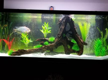 125 gallons freshwater fish tank (mostly fish and non-living decorations) - 125Gal SA Cichlid tank