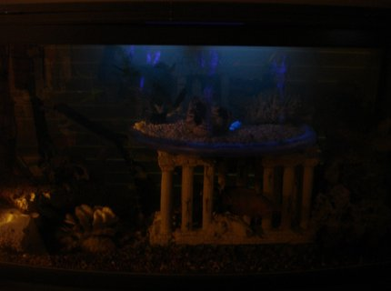 60 gallons freshwater fish tank (mostly fish and non-living decorations) - with black light burning & with accent light--(hard to capture without proper camera)
