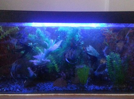 50 gallons freshwater fish tank (mostly fish and non-living decorations) - My tank