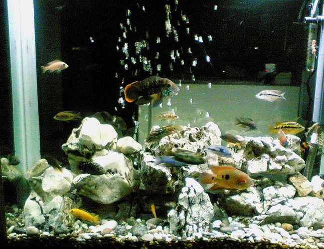 64 gallons freshwater fish tank (mostly fish and non-living decorations) - My Fishes are Green Terror ,  Jack Dempsey, Red Devil , Salvin , Texasi , Chocolate ,  Malawi Cichlids