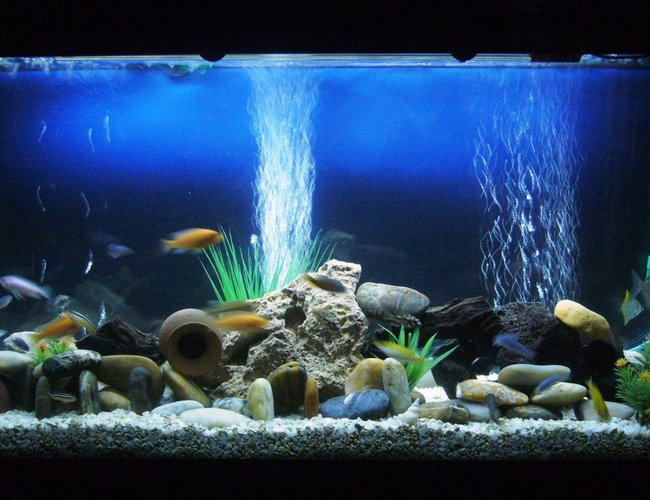 60 gallons freshwater fish tank (mostly fish and non-living decorations) - Cichlids
