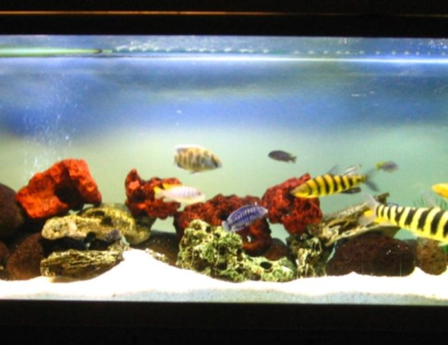 134 gallons freshwater fish tank (mostly fish and non-living decorations) - Derek's Cichlid Tank