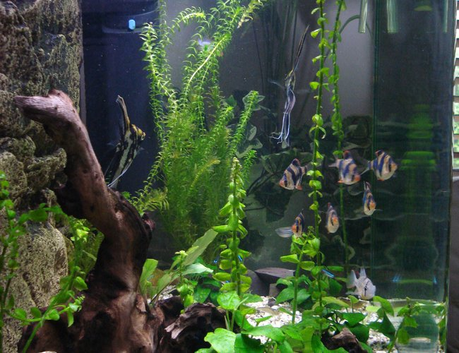 45 gallons freshwater fish tank (mostly fish and non-living decorations) - Side view