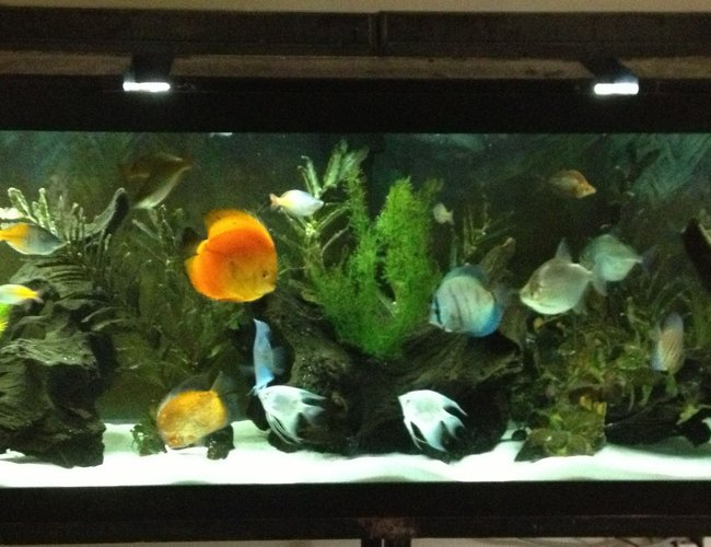 125 gallons freshwater fish tank (mostly fish and non-living decorations) - Discus Community Tank