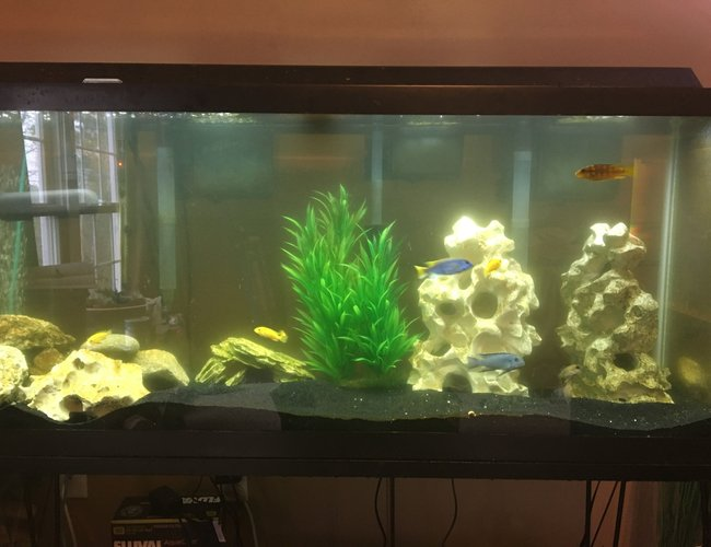 6 gallons freshwater fish tank (mostly fish and non-living decorations) - Normal activity in a mostly male African tank