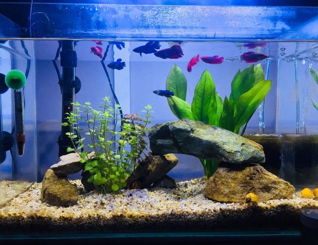 13 gallons freshwater fish tank (mostly fish and non-living decorations) - Siamese fighter tank, 9 female fish, 3 apple snails