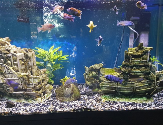 53 gallons freshwater fish tank (mostly fish and non-living decorations) - Main tank picture