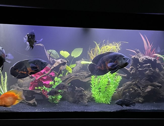 65 gallons freshwater fish tank (mostly fish and non-living decorations) - 65 gallon American Cichlid tank