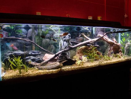 Rated #38: 125 Gallons Freshwater Fish Tank - My 125g Cichlid tank