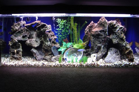 Rated #39: 60 Gallons Freshwater Fish Tank - 60 gallon peacock tank rearranged.
