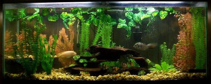 Rated #69: 55 Gallons Freshwater Fish Tank - My 55 gal tank
