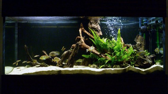 Rated #7: 119 Gallons Freshwater Fish Tank - My South American cichlid tank.