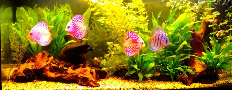 Rated #12: 40 Gallons Freshwater Fish Tank - discus