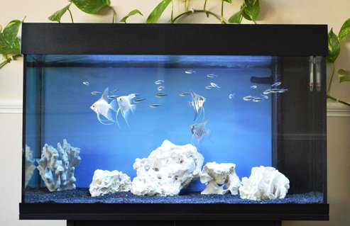 Rated #34: 33 Gallons Freshwater Fish Tank - Angels and black neons