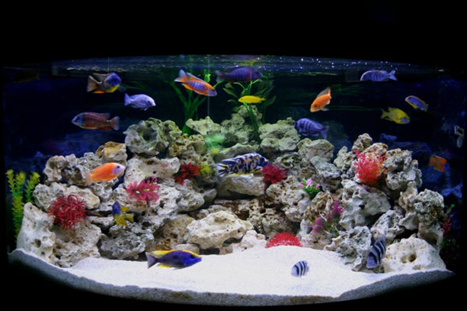 Rated #2: 90 Gallons Freshwater Fish Tank - My new Male Only Show Tank Please leave your comments, Im really interested to know what people think.