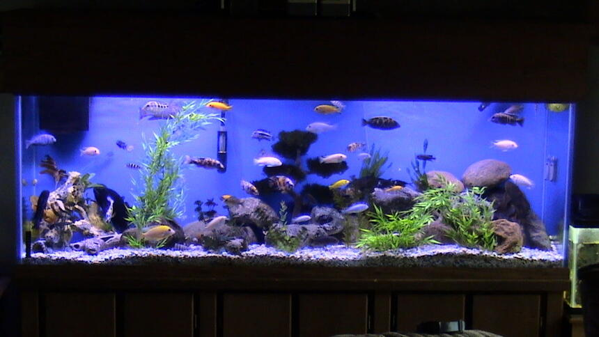 Rated #37: 135 Gallons Freshwater Fish Tank - My 135gal baby