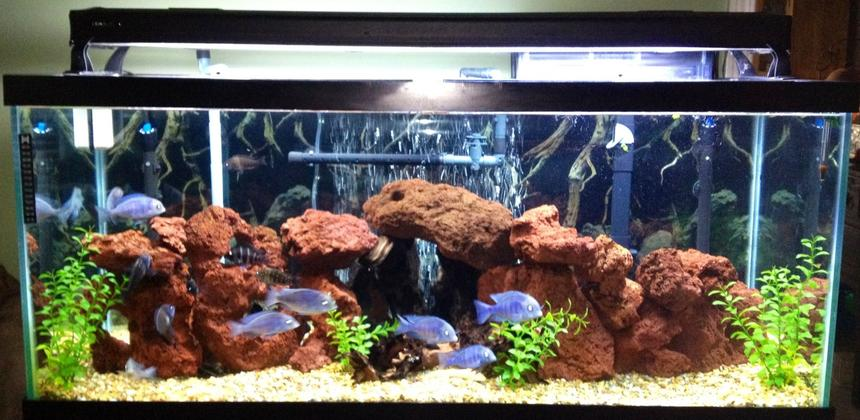 Rated #57: 75 Gallons Freshwater Fish Tank - Lake tanganykan tank setup with fronts, calvus, leleupi, blue dolphin moorii, gold nugget pleco, chocolate zebra pleco, albino & reg bristle nose, clown pleco , rafael & bumblebee catfish & black ghost knife fish