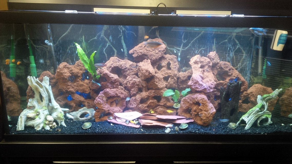 Rated #81: 120 Gallons Freshwater Fish Tank - First Ciclid Tank 120 gallons.  Lava rock and fake wood decorations