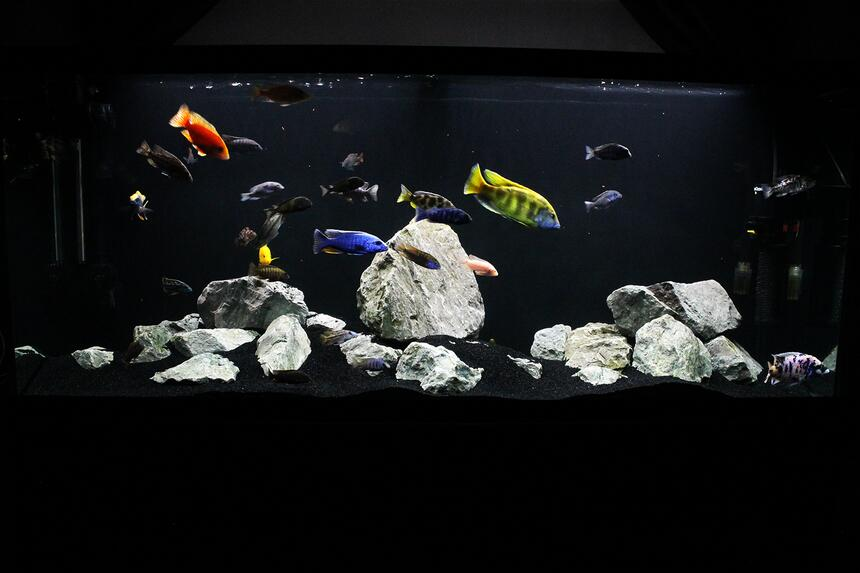 Rated #81: 120 Gallons Freshwater Fish Tank - My 120g African Cichlid Peacock / Hap Show Tank with a few odd balls! :D