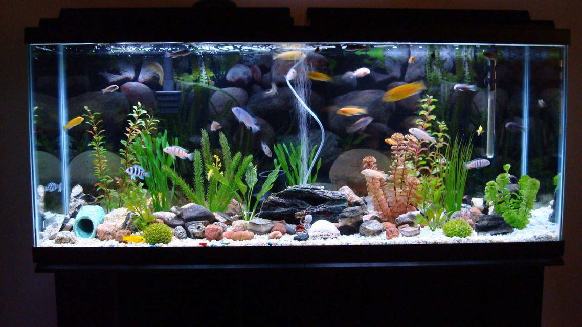 Rated #32: 150 Gallons Freshwater Fish Tank - 55 gallon tank with 33 cichlids