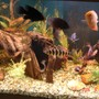 180 gallons freshwater fish tank (mostly fish and non-living decorations) - Some of the many fish.