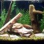 "freshwater fish tank (mostly fish and non-living decorations) - 10 gallon brackish one 1.5"" Figure-8 puffer"