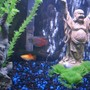 55 gallons freshwater fish tank (mostly fish and non-living decorations) - close up of buddha statue